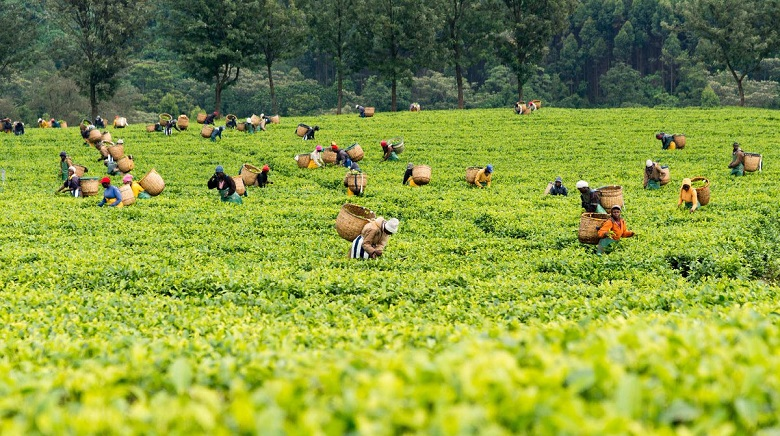 650,000 Tea Farmers to Get Subsidised Fertiliser from KTDA