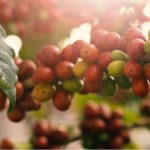 Why Economic Sustainability Crisis of Coffee Producers Needs to be Addressed