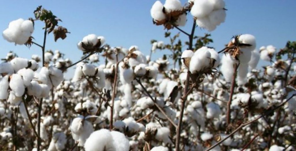 Kenya Plants First BT Cotton Seed