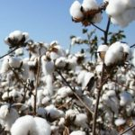 Kenya Plants First BT Cotton Seed Targeting Over 200,000 acres in Two Years