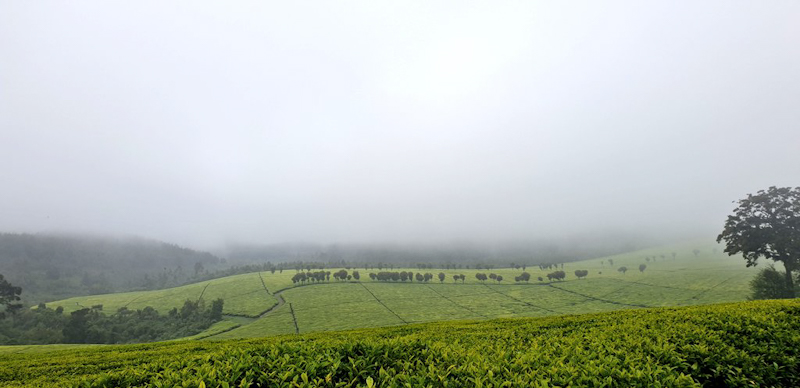 Tea Prices Sustain Fall as There's Higher Supply Globally