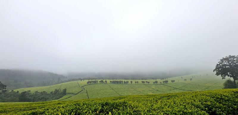 Kenya's tea exports rise marginally in May to 50.76 million kilograms