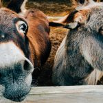 Kenyan Donkeys Face 'Bleak Future' As Court Reverses Ban on Slaughter