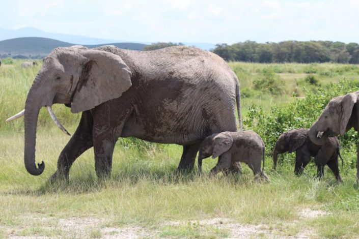 Miss Angelina, The Elephant Gives Birth to Rare Twins in Amboseli, Kenya