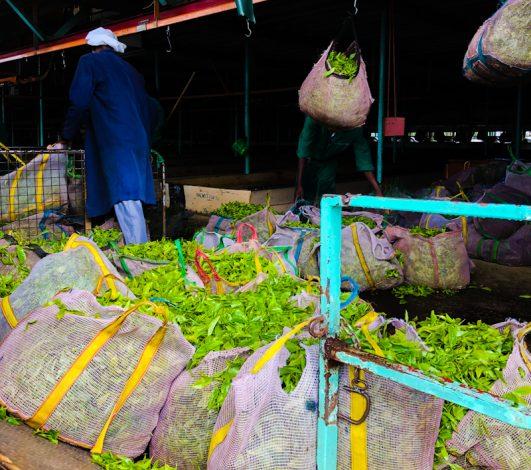 Smallholder Kenyan Tea Farmersto Receive KSh649m Dividend