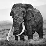 Kenya's 'Tim' the Great Patriarch of Amboseli National Park Dies