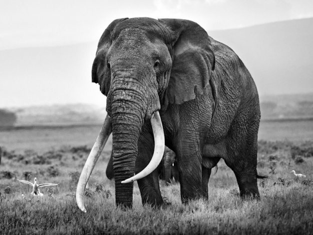 Amboseli National Park's Super Tusker 'Tim' Dead at 50