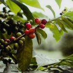 Kenya, World Bank Launch Ksh 1.5 billion Coffee Revitalization Program