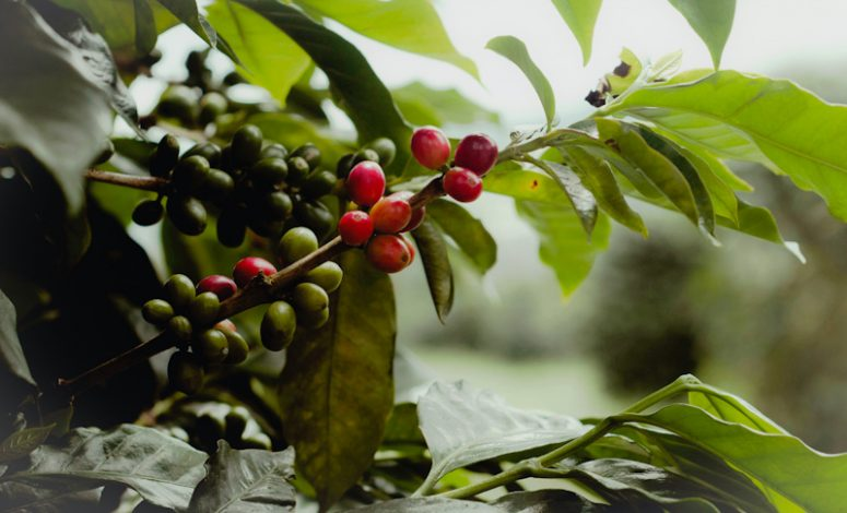 Kenya Receives Ksh 1.5 billion from World Bank for Coffee Revitalization Program