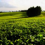 Kenya Tea Exports Decline 8.5pc in February