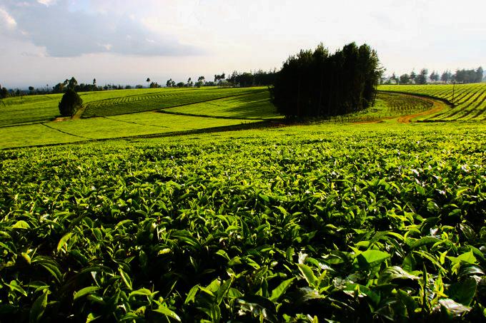 Tea Farmers to Miss One Year of Fertilizer Application as KTDA Suspends Fertilizer Importation