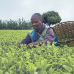 Kenyan Smallholder Tea Farmers Receive KSh 27 billion Bonus