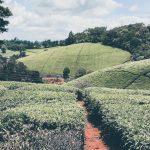 Limuru Tea Posts Ksh 11 million First-half Pre-Tax Loss Declines
