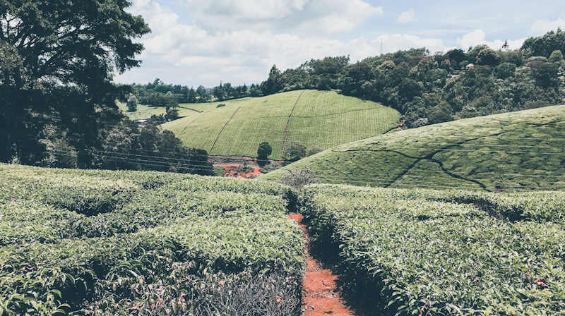 Limuru Tea Posts Ksh 11 million First-half Pre-Tax Loss Declines