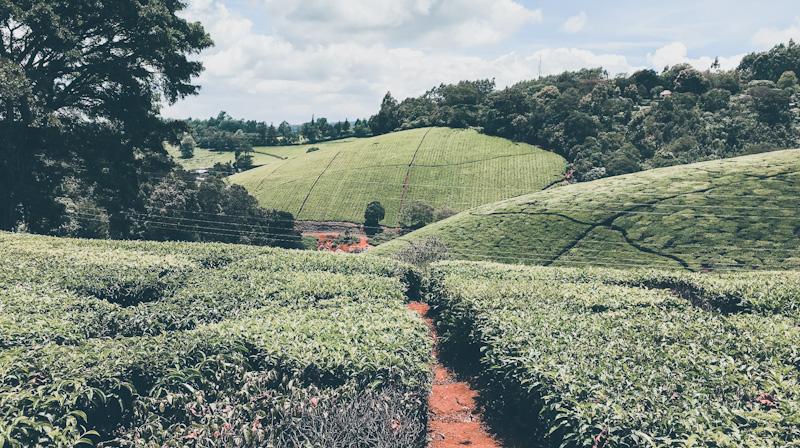 Limuru Tea Plc Issues FY2020 Profit Warning