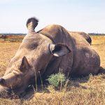 Najin and Fatu, Hope for the Northern White Rhinos Species