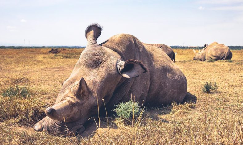 Female northern white rhinos Najin and Fatu