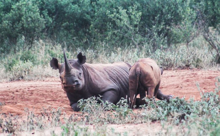 Kenya to Invest Ksh 400mn Annually in Rhino Conservation