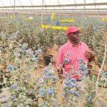 Kakuzi Remains Bullish; Income Diversification Strategy Yielding Fruits