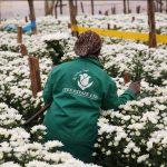 James Finlay Sales Kericho Flower Farm to Black Tulip Group