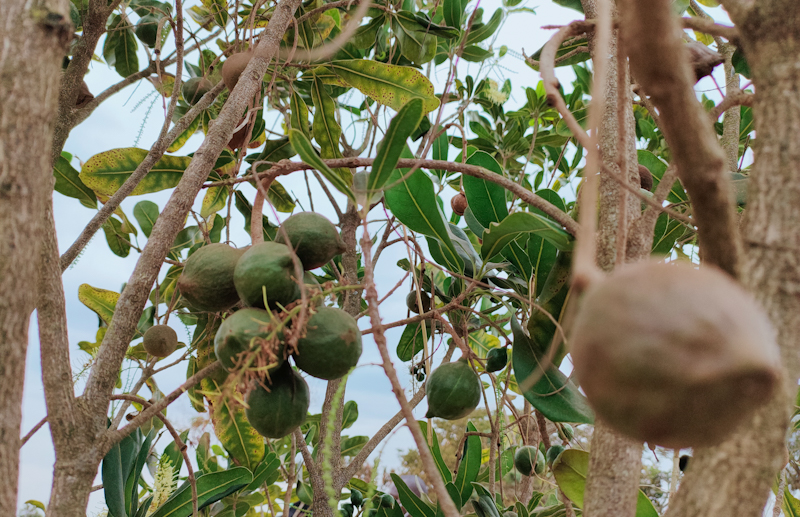 Kakuzi PLC is a listed Kenyan agricultural company trading on both the Nairobi and London Stock Exchange engaging in the cultivation, processing and marketing of avocados, blueberries, macadamia, tea, livestock and commercial forestry.